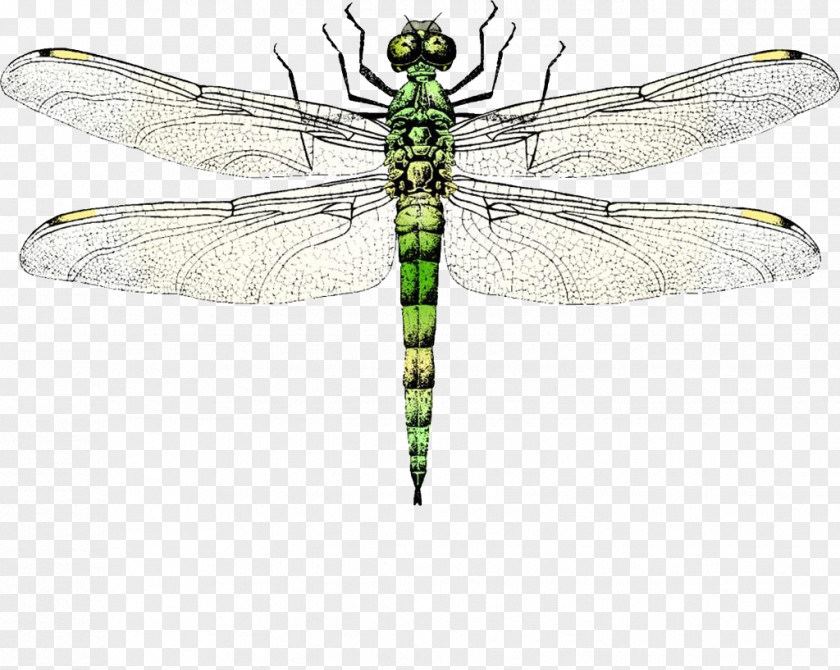 Dragonfly Insect Wing Clip Art PNG